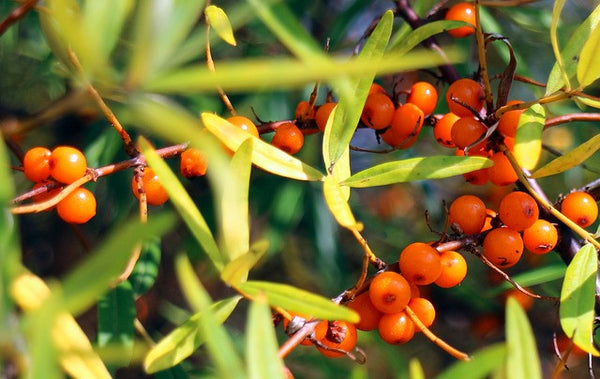 sea-buckthorn-oil-for-nails
