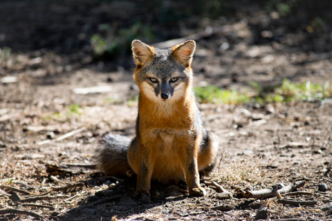 A Seasoned Model (Island Fox)