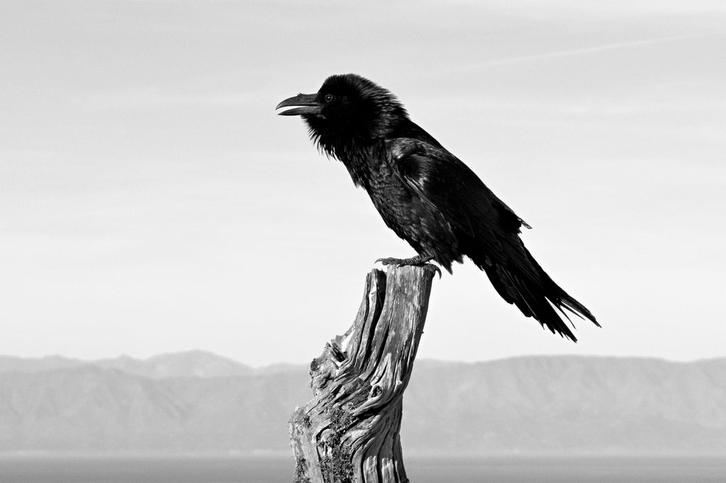 The Trickster (Common Raven)