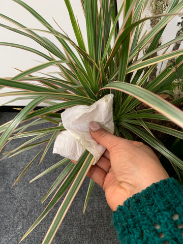Using a little olive oil and water to clean houseplant leaves in a plant arrangement