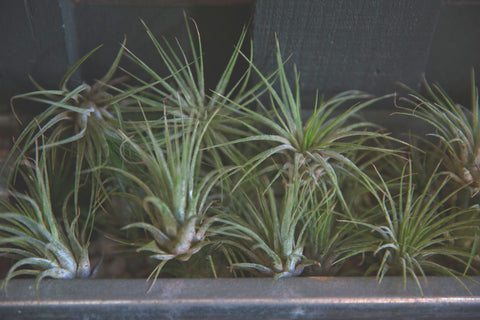 airplants at Gorgeous and Green
