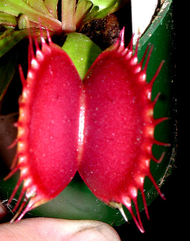 FACT SHEET CULTURAL NOTES ON Venus Fly Trap growing DIONAEA