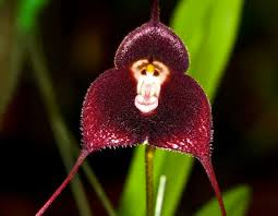 Monkey Face Orchids Duck Orchids And Naked Man Orchids