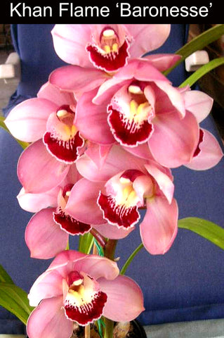 Cymbidium Khan Flame 'Baronesse' (68mm pot) slc