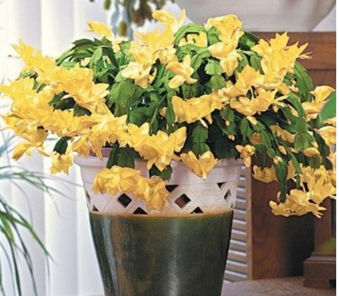 Zygocactus Schlumbergera Dutch Yellow in bloom and bud Cacti Succulent 6cm
