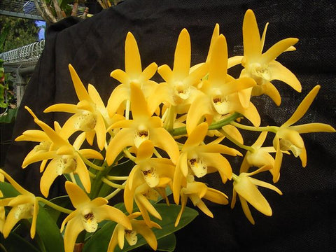 Dendrobium Australian Goldrush   Using Blackdownese ACE Limited   80mm advanced 2020