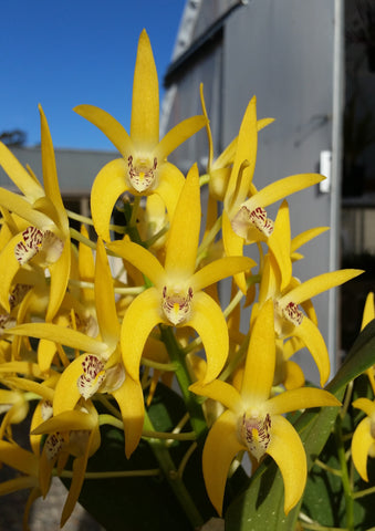 Dendrobium BRIMBANK MIKADO   80mm ADVANCED size very limited