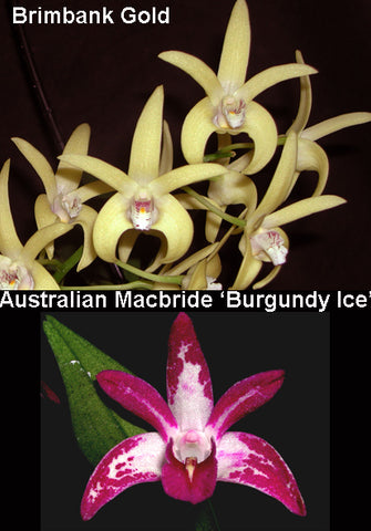 Dendrobiums – Page 3 – Australian Orchid Nursery