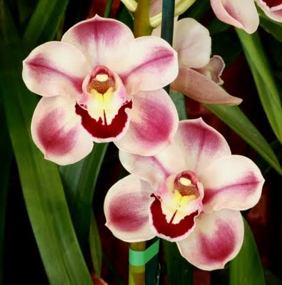 Cymbidium Kimberley Splash 'Tee Pee' 68mm extra large clones