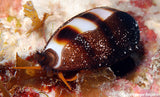 "Cypraea asselus ""The three striped Zebra Cowry'   becoming rare"