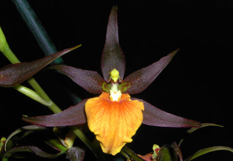 "GREAT PRICE !!     NO SPIKER  spiker   spiked perfect in bloom Adaglossum Summit 'Frenchtown'     ""The ultimate Jaffa Orchid""    Fully mature"