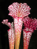 Sarracenia Umbrella OF LOVE       perfect 80mm pots in active growth