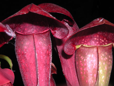 Sarracenia Swan Lake     80mm pots Carnivorous Plant garden pitcher