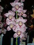 Cymbidium Forest Place 'Queen's Jewels' 200 mm pot Flowering size