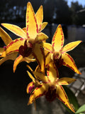 Dendrobium Sunset Gold   80mm ADVANCED size very limited    NEAR FLOWERING  SIZED