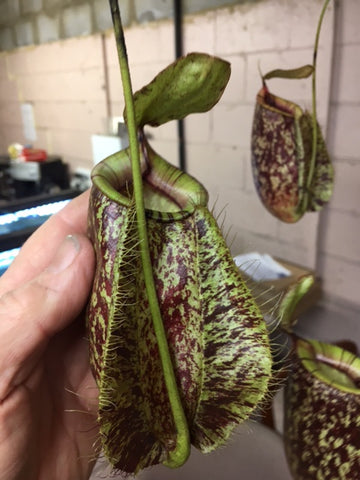 Nepenthes ' Rafflesiana x Ampullaria' in 125 mm baskets    Perfect giant Monkey Pitchers