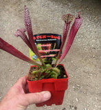 2018 stock  SNAP PACK!    Catch a bug carniverous garden Sarracenia and VFT  100 mm pot sized