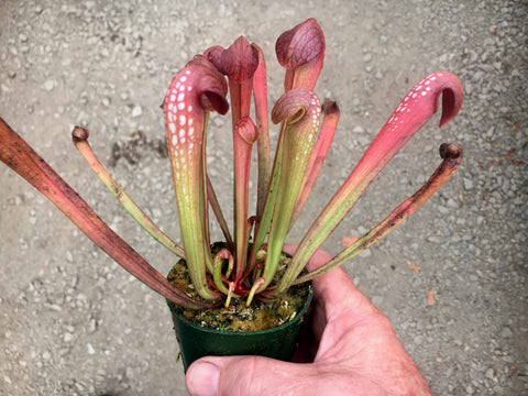 2018 stock  Sarracenia minor in 70mm pot