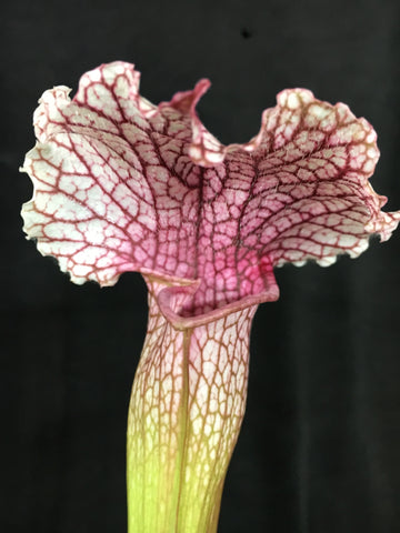2019  Sarracenia  x mitchelliana x leucophylla form white top = LIPSTICK 80mm pots