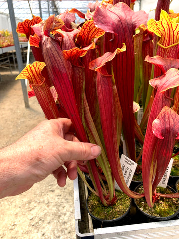 Sarracenia SUNSET    GREAT COLOURS   80mm pots Carnivorous Plant garden pitcher