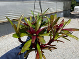 1 EACH OF TWO VARIETIES... BROMELIAD NEOREGELIA AMPULACEAE FIREBALL  HYBRID LARGE BARE ROOT PUP Air Plant Houseplant