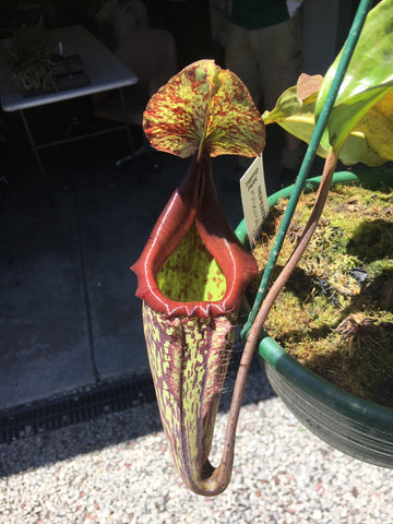 Nepenthes ' Maxima  ' in 200 mm baskets    Perfect giant Monkey Pitchers