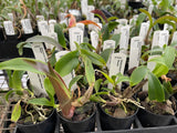 ECHEVERIA PULVINATA FROSTY CRISTATE  hardy Succulent cacti Plant 80mm pot AON