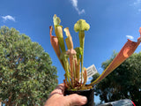 Sarracenia Champagne on Ice   Wasp Eater 80mm pots Carnivorous  Plant garden pitcher