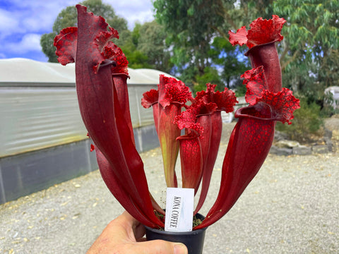 2021  Sarracenia  KONA COFFEE   my choice as the best red   Carnivorous plant  80mm garden pot plant