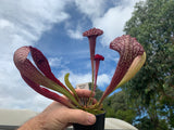 Sarracenia Mexican Standoff  Wasp Eater 80mm pots Carnivorous Plant garden pitcher