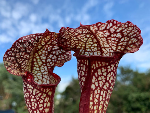 Sarracenia  Murray River Red  Carnivorous plant  80mm pot  garden indoor plant