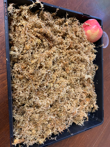 Sphagnum moss 50 grams for Phalaenopsis repotting enough for three plants ORCHID