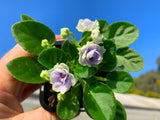 Live terrarium plants BOTTLE BABIES Icy Blue African Violet MINI