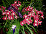 Cymbidium Kuralta Park 'Tennyson' 100mm Pot