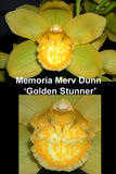 Cymbidium Memoria Merv Dunn 'Golden Stunner' (68mm pot)