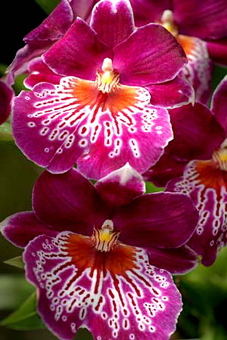 NEW 17.04.2019 Miltoniopsis Martin Orenstein Flowering size 125mm pots