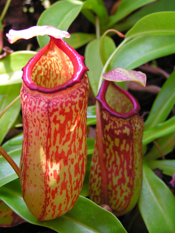 NEPENTHES 'RED LEOPARD' Hanging Climbing Carnivorous Pitcher Plant