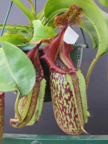Nepenthes 'Allardii' in 200mm baskets    Perfect giant Monkey Pitchers