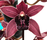 Cymbidium Paradisan PLanet  Black Lip   (pendulous) Limited 100mm pots