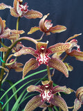 Cymbidium Pywacket 'Peat's Ridge  Weird Novelty fast growing Cymbidium ORCHID 68mm