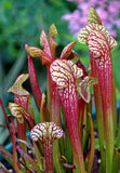 Sarracenia Ladies in Waiting  Carnivorous plant  80mm pot  garden indoor plant