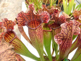 Sarracenia x mitchelliana  Extra large healthy plants  80mm