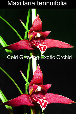 Maxillaria tennuifolia  The amazing Coconut scented orchid  (Cold Growing) 100mm pots