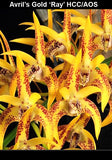 Dendrobium Avril's Gold 'Ray'  50mm potted clones at a fair price for all!