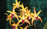 Dendrobium BALNARRING REMAKE AUSTRALIAN NATIVE 50mm ORCHID AON