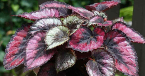 Begonia Rex  Indian Summer   60mm pots cloned