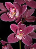 Cymbidium Barossa Ruby 'Emily Kate' slc  68mm pot
