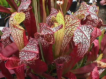 Sarracenia Leucophylla x x Courtii F Southern Pubescens  Carnivorous plant  80mm pot  garden indoor plant