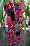 Cymbidium Ten Pin 'Tee Pee' Limited to 20 plants EXTRA large 100mm  bulb and lead Pot 20 only