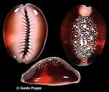 "Cypraea caputserpensis ""The Starry Night Cowry"""